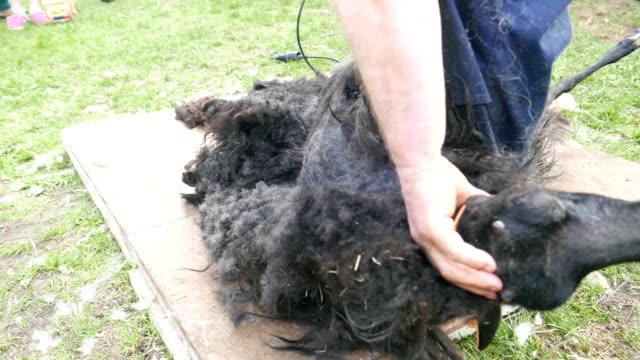 sheep shearing school - sheep shearing stock videos & royalty-free footage