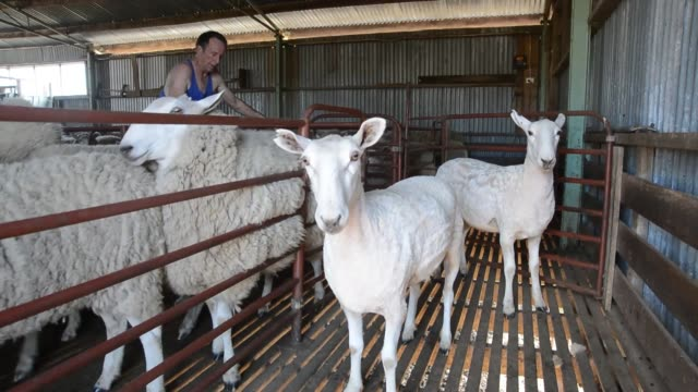 vídeos de stock e filmes b-roll de sheep shearing sheep lamb lancefield victoria australia sheep shearing victoria australia on february 10 2013 in lancefield australia - tosquiar