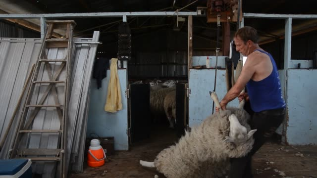 vídeos de stock e filmes b-roll de sheep shearing sheep lamb lancefield victoria australia wool sheep shearing victoria australia on february 10 2013 in lancefield australia - tosquiar