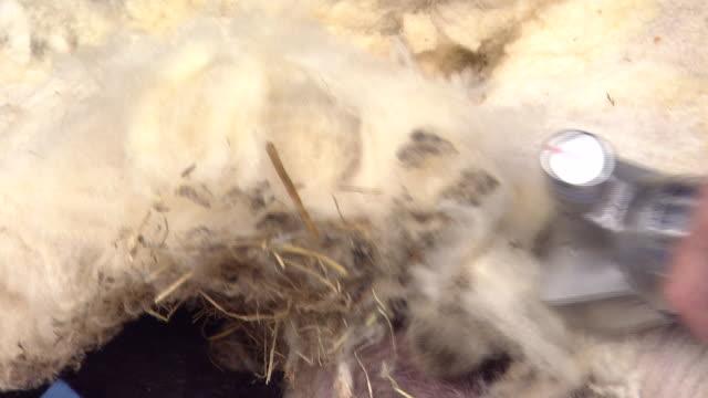 sheep shearing - sheep shearing stock videos & royalty-free footage