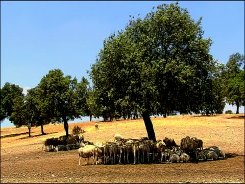 Sheep (Ovis aries) sheltering from sun under tree, near Cadiz, Andalucia, Southern Spain