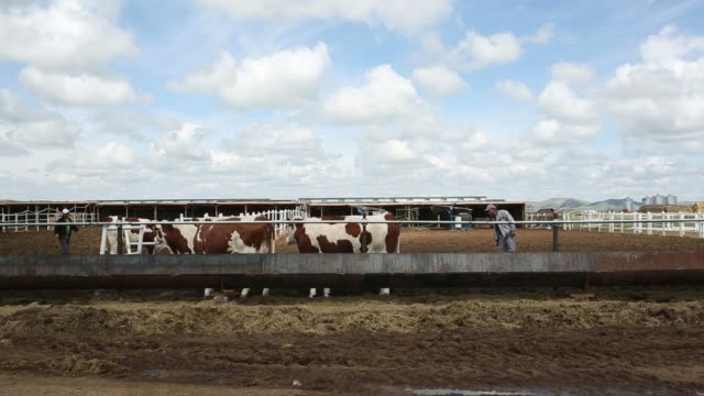 stockvideo's en b-roll-footage met sheep stand outside a sheep enclosure in arkhus tus province mongolia french montbeliarde cows feed at a trough at the khishigten nuudelchin llc... - omsloten ruimte