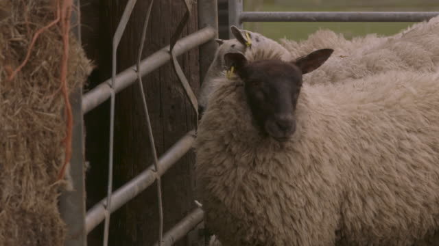 sheep standing next to a fence in the wind - livestock tag stock videos and b-roll footage