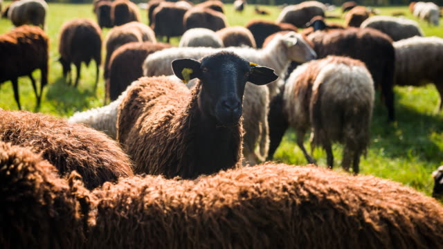 sheep standing out from flock of sheep grazing on meadow - distinguersi dalla massa video stock e b–roll