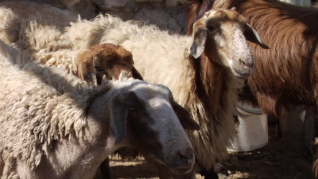 sheep standing side by side - side by side stock videos & royalty-free footage