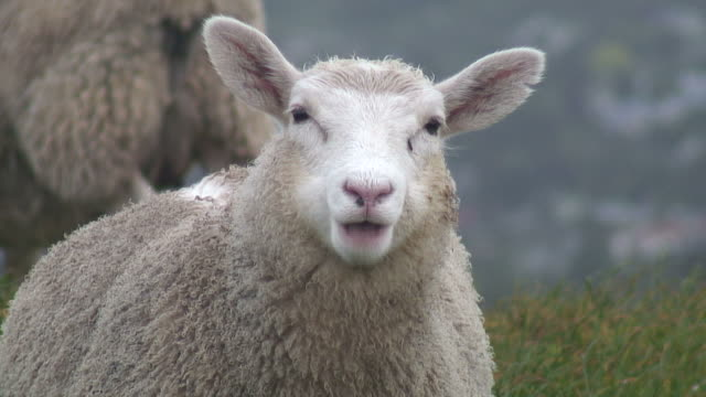 (hd1080i) sheep stares at camera and chews, close up - chewing stock videos & royalty-free footage