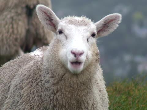 vídeos de stock e filmes b-roll de ovelha stares a câmera, close up e de couro - ovelha mamífero ungulado
