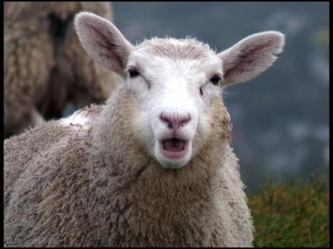 vídeos y material grabado en eventos de stock de ovejas mirando a la cámara y de mascar - oveja merina