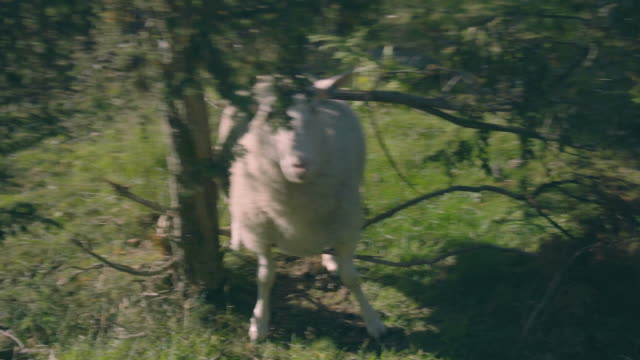 sheep stuck in tree - lamb animal stock videos and b-roll footage