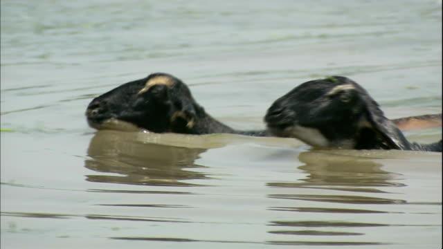 Sheep swim across river to bank, India