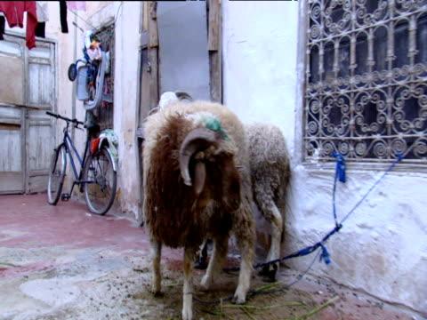 vídeos y material grabado en eventos de stock de sheep tethered to ornate window bars - oveja merina