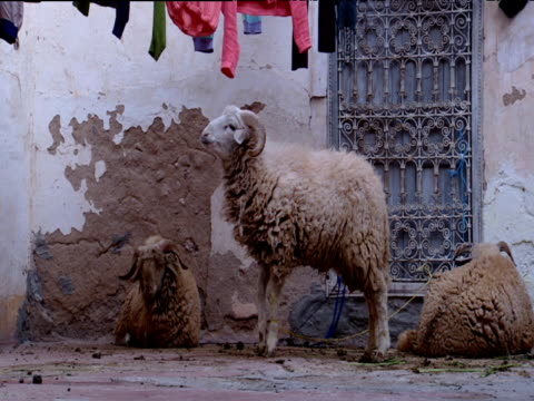 Sheep under washing line tethered to ornate window grill Morocco