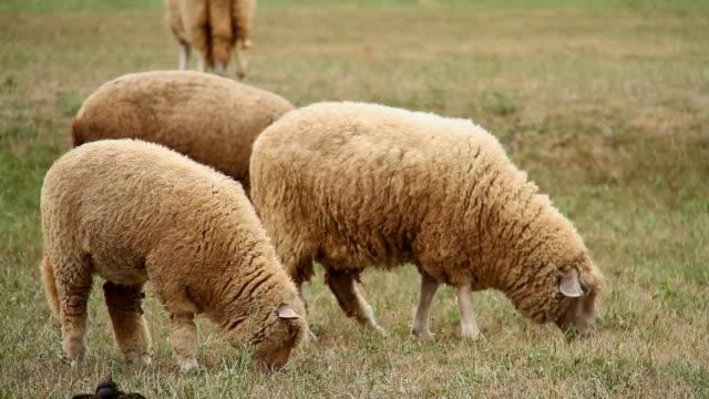 vídeos de stock e filmes b-roll de ovelha - gado animal doméstico