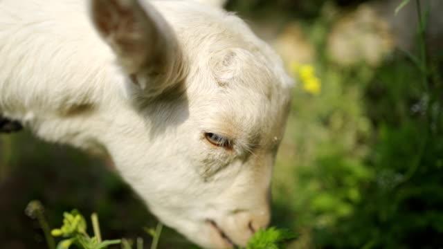 羊 - ヤギ点の映像素材/bロール