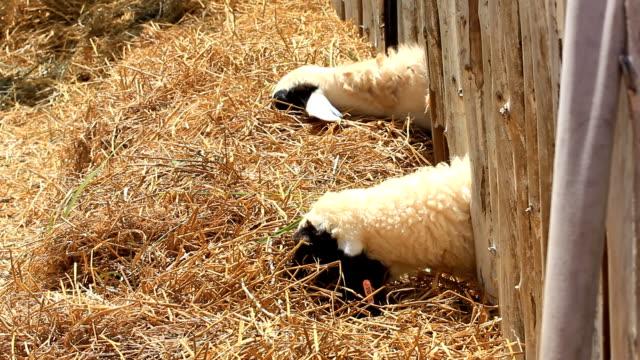 vídeos de stock, filmes e b-roll de ovelhas - bigode de animal
