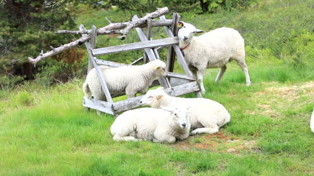 sheep - sheep stock videos and b-roll footage