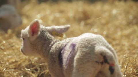 vídeos y material grabado en eventos de stock de sheep - grupo mediano de animales