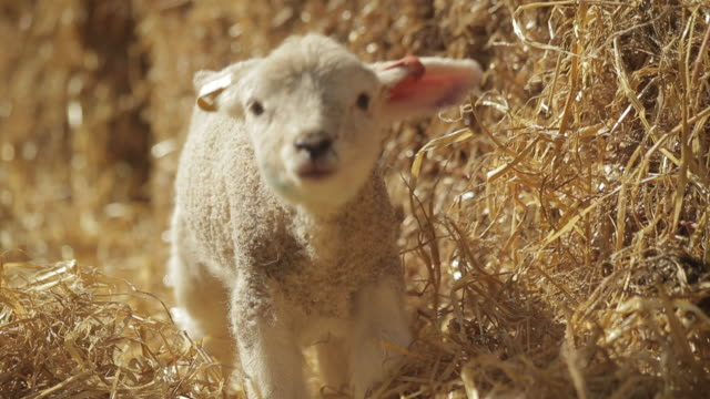 sheep - lamb animal stock videos and b-roll footage