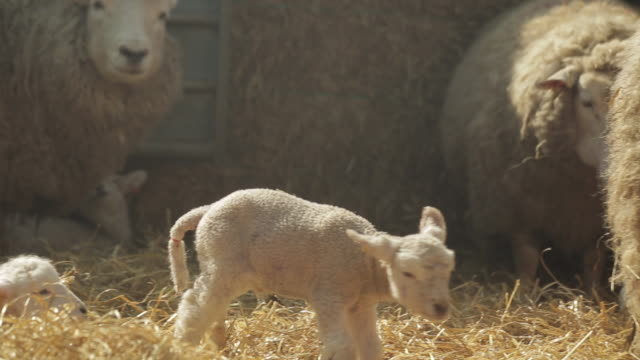 sheep - mittelgroße tiergruppe stock-videos und b-roll-filmmaterial