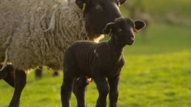 sheep - lamb animal stock videos and b-roll footage