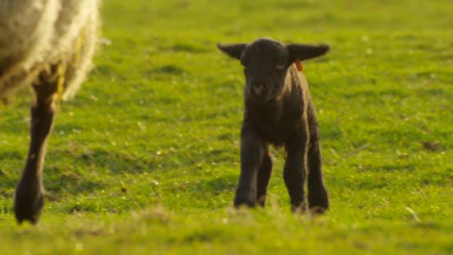 sheep - sheep点の映像素材/bロール