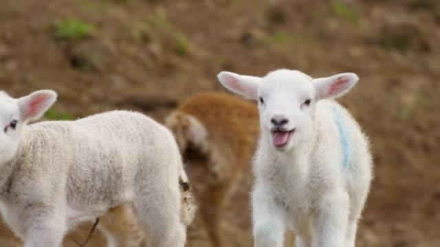 sheep - sheep stock videos & royalty-free footage