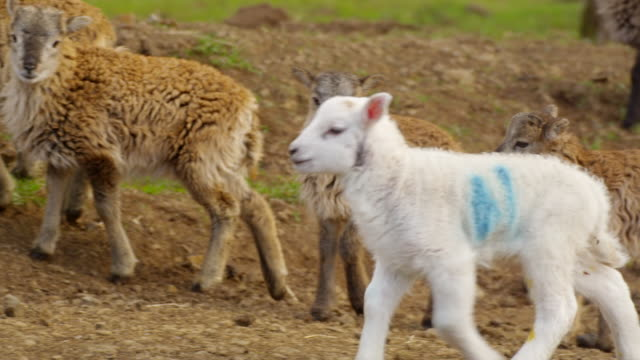 sheep - medium group of animals stock videos & royalty-free footage