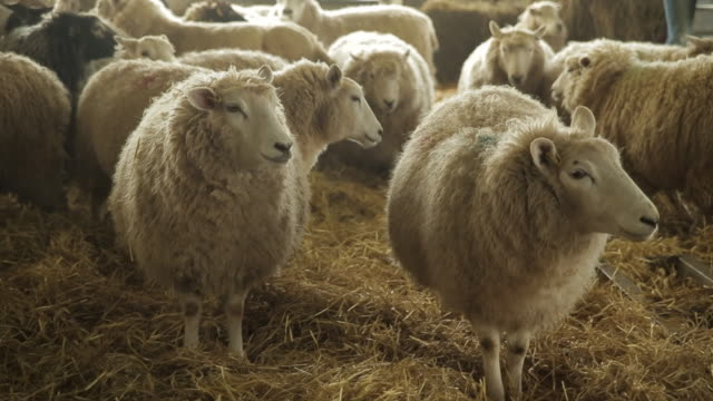 vidéos et rushes de sheep - troupeau de moutons
