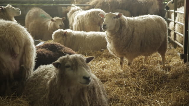sheep - 数匹の動物点の映像素材/bロール
