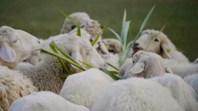 sheep - cattle stock videos & royalty-free footage