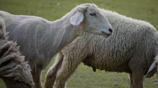 vídeos y material grabado en eventos de stock de oveja - oveja merina