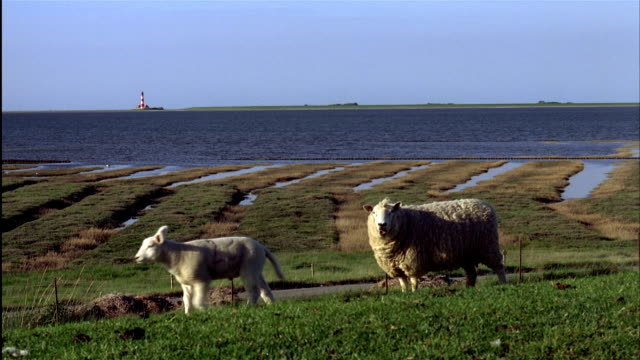 sheep walk on a grassy dike with water and westerhever lighthouse in background.  north frisia, schleswig-holstein, germany - north sea stock videos & royalty-free footage
