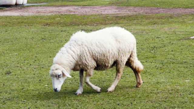 緑のフィールドで歩く羊 - sheep点の映像素材/bロール