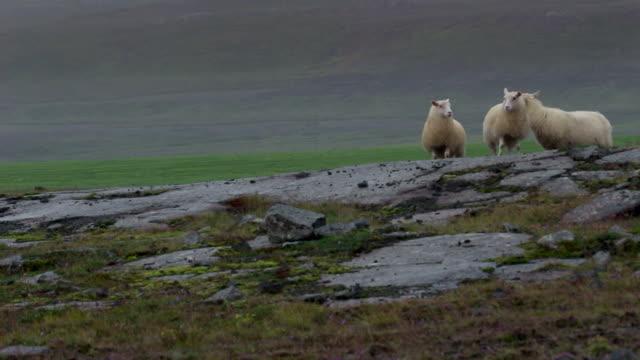 sheep walking in Iceland