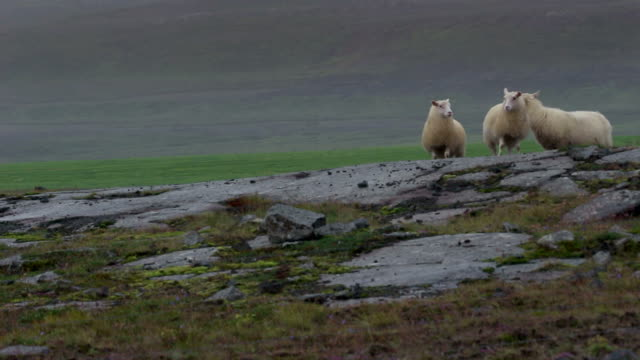 sheep walking in Iceland