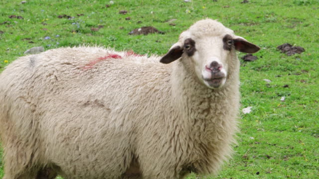 A sheep with attitude looks straight into the camera before being pursued by another one
