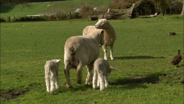 pan, sheep with lambs walking in field - aquatic organism stock videos & royalty-free footage