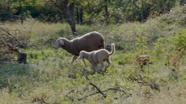 Sheep with offspring running through orchard