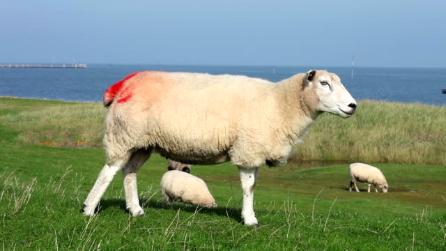 sheep with red marking - wildlife tracking tag stock videos and b-roll footage