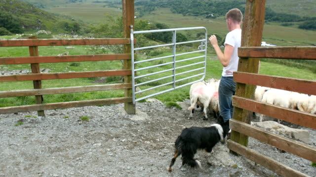 sheep with sheep dog and a shepard taking the sheep out of the pen - sheepdog stock videos & royalty-free footage