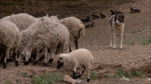 vidéos et rushes de ws pan sheepdog and sheep, iran - mouton