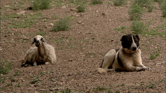 ws sheepdog guarding cattle, iran - guarding stock videos & royalty-free footage