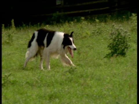 Sheepdog herding sheep, UK
