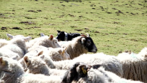 sheepdog herding sheep - herding stock videos & royalty-free footage