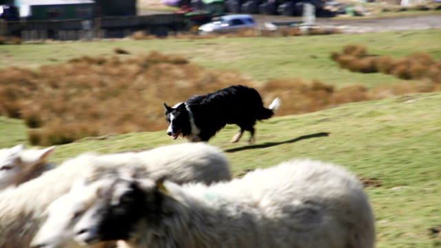 sheepdog herding sheep - sheep stock videos & royalty-free footage