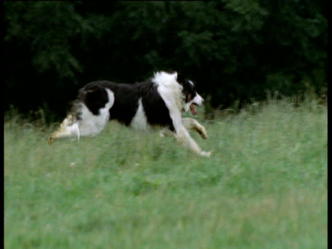 sheepdog runs through grass, uk - collie stock videos & royalty-free footage