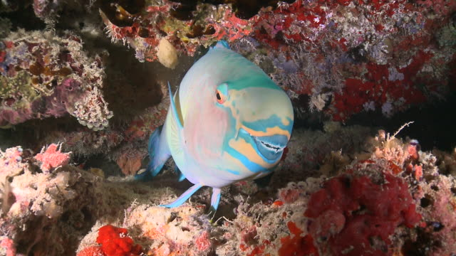 vidéos et rushes de sheephead parrotfish (scarus strongylocephalus) sleeping on reef, portrait, cu, meemu atoll, the maldives - animal mouth