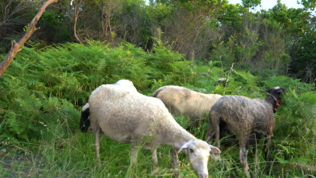sheeps and goats grazing in nature - livestock stock videos & royalty-free footage