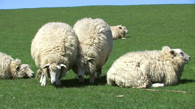 vidéos et rushes de sheeps brouter et recherche - troupeau de moutons
