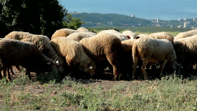 sheeps grazing and resting in a pasture - named wilderness area stock videos & royalty-free footage